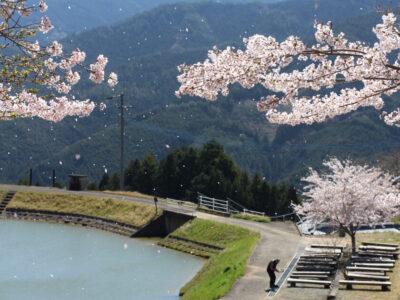 内子の桜スポット
